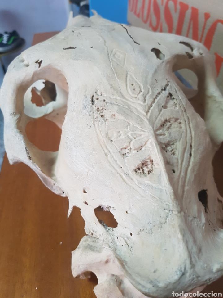 Antigüedades: Cráneo de caballo tallado. Raro - Foto 4 - 91645649
