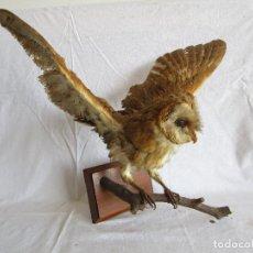 Antigüedades: ANTIGUO BUHO O LECHUZA DISECADA AÑOS 60 APROX.. Lote 95688371
