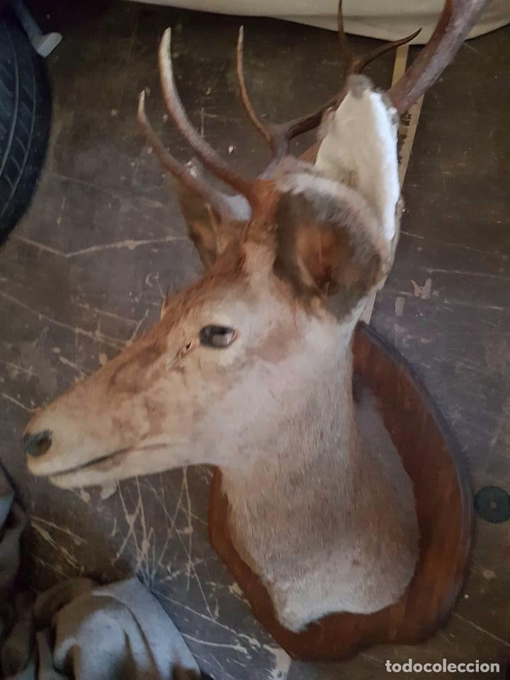Antigüedades: cabeza de ciervo - Foto 3 - 95776739