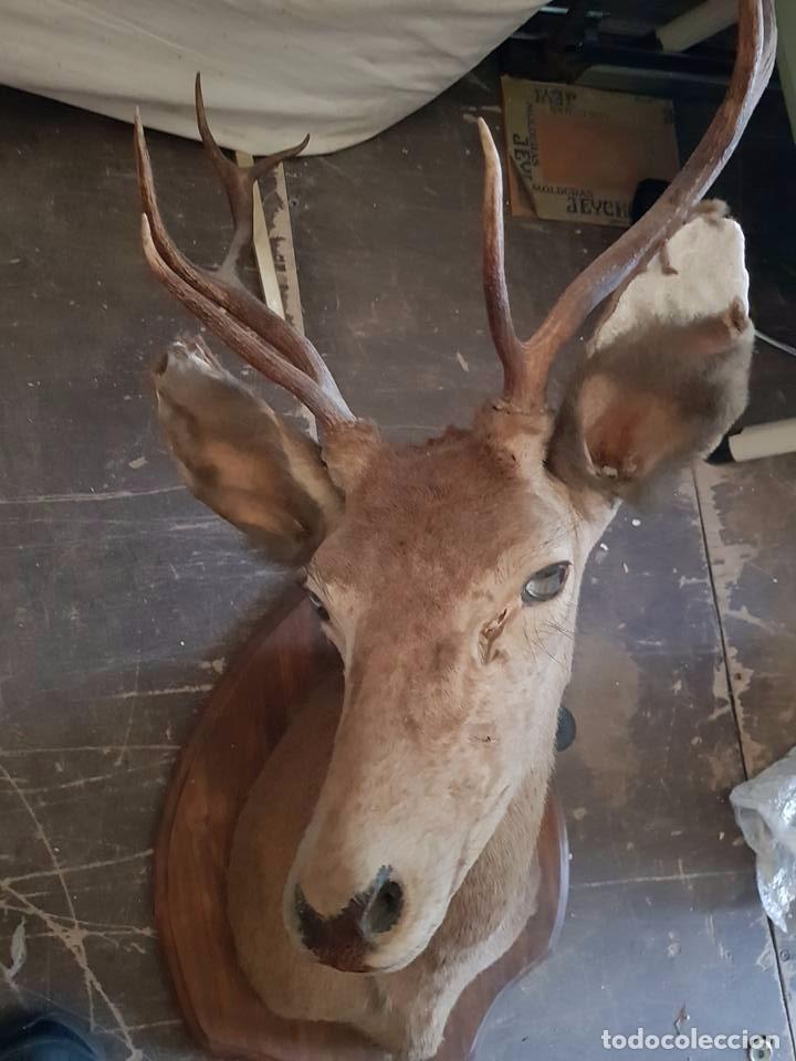 Antigüedades: cabeza de ciervo - Foto 4 - 95776739