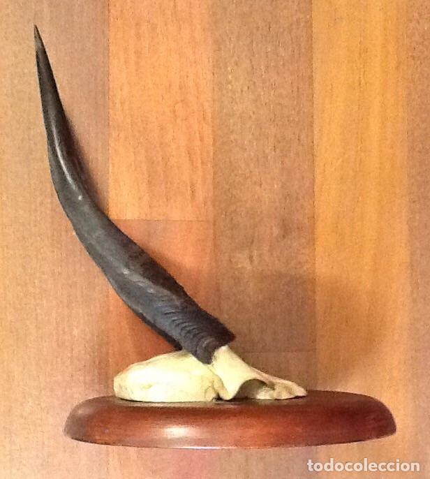 Antigüedades: Bushbuch / trofeo de caza / - Foto 3 - 95780431