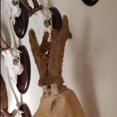 Antigüedades: MANIQUÍ DE CORZO CON PRECIOSOS Y RAROS CUERNOS. Lote 97611243
