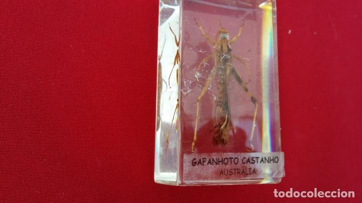 Antigüedades: insecto disecado - Foto 2 - 99288479