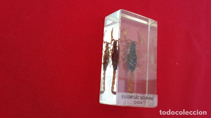 Antigüedades: insecto disecado escorpion - Foto 2 - 99289331