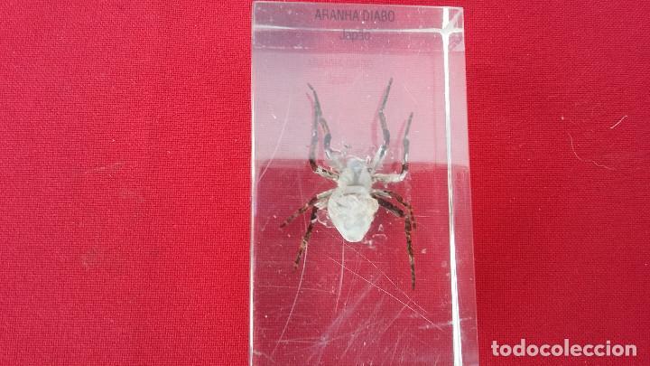 Antigüedades: insecto disecado - Foto 2 - 99289579