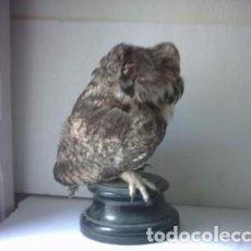 Antigüedades: MUY ANTIGUO BUHO IBERICO TAXIDERMIA. Lote 99937543