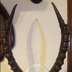 Antigüedades: GRAN TROFEO DE GACELA MACHO. Lote 103980539