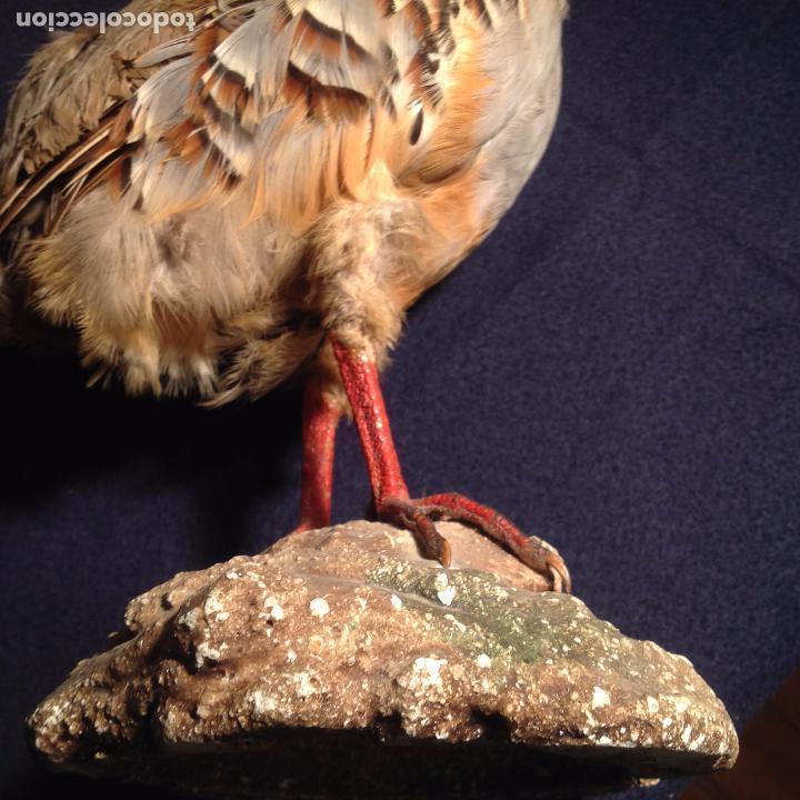 Antigüedades: PERDIZ ANTIGUO TROFEO DE CAZA TAXIDERMIA PERDIZ DISECADO - Foto 6 - 105188627