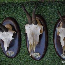 Antigüedades: TRES TROFEOS DE CAZA , CABRA CON PEANA Y CHAPA. Lote 105604107