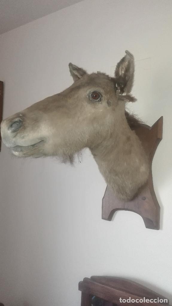 Antigüedades: espectacular cabeza de caballo disecada - Foto 2 - 112513999