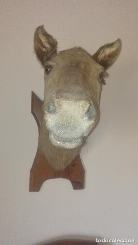 Antigüedades: espectacular cabeza de caballo disecada - Foto 3 - 112513999