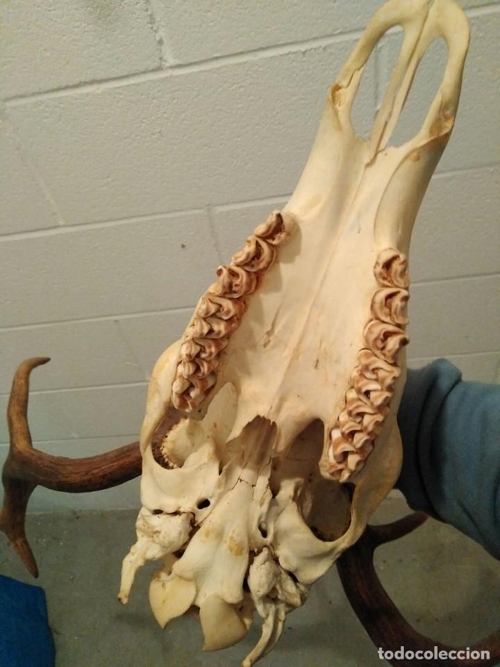Antigüedades: Antigua cabeza de ciervo cornamenta venado de 12 puntas - Foto 3 - 147858602