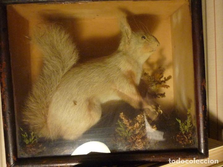 Antigüedades: Taxidermia, ardilla inglesa s. xix - Foto 4 - 116363691