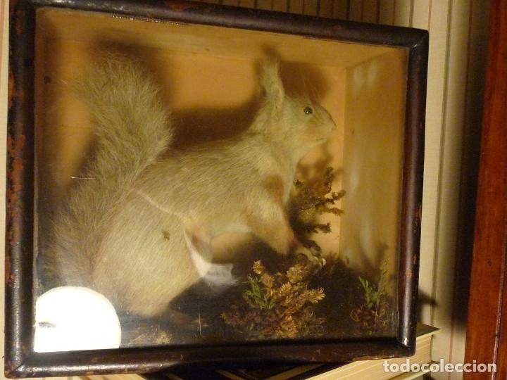 Antigüedades: Taxidermia, ardilla inglesa s. xix - Foto 6 - 116363691