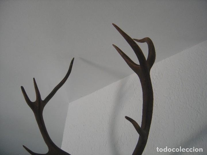 Antigüedades: TROFEO. CIERVO-VENADO. 12 PUNTAS. DECORACION, RUSTICO, VINTAGE. OFERTA PRECIO - Foto 5 - 121503587