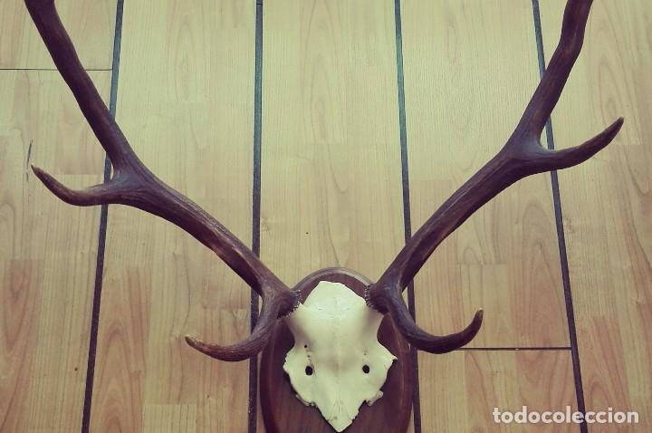 Antigüedades: Trofeo de Caza Ciervo. 8 puntas - Foto 3 - 125264507