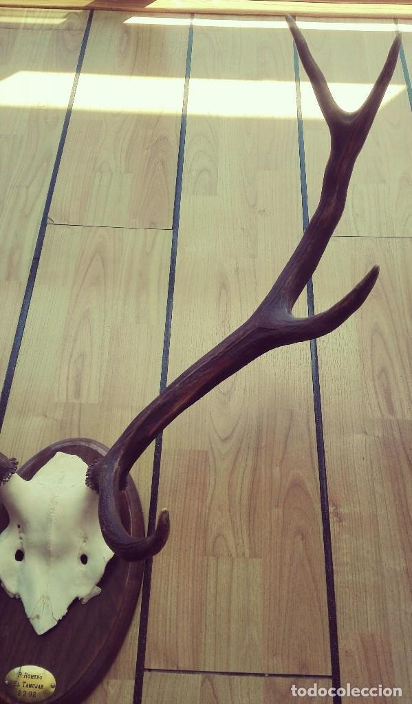 Antigüedades: Trofeo de Caza Ciervo. 8 puntas - Foto 5 - 125264507