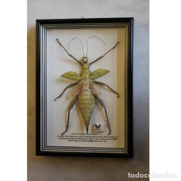 cuadro insecto palo hembra - Comprar Antigüedades Varias en ...