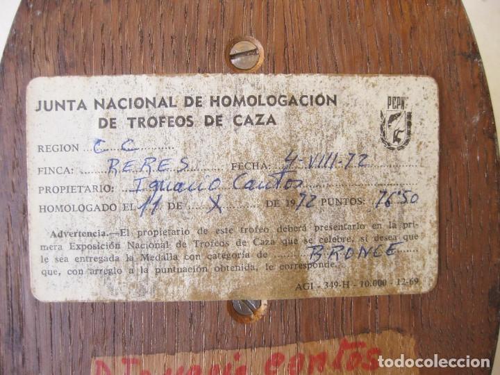 Antigüedades: CUERNA DE REBECO CON MEDALLA HOMOLOGACIÓN. COTO DE RERES. SIERRA DE LA GALLERA. BENEDITO 1972 - Foto 12 - 132260274