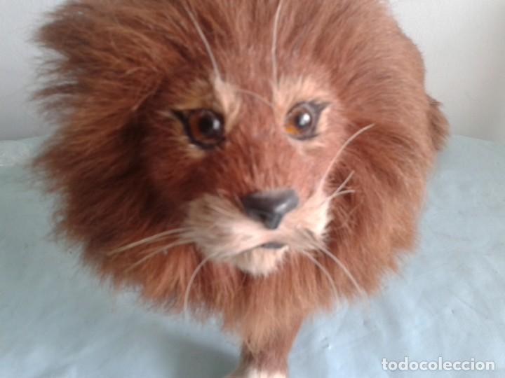 Antigüedades: antiguo Taxidermia en miniatura del león - Foto 5 - 132798906