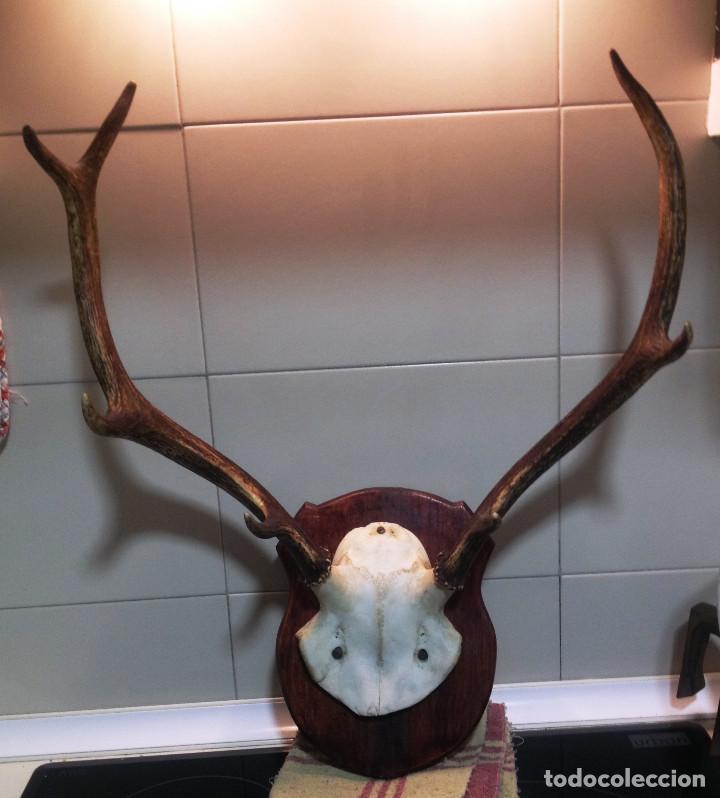 Antigüedades: Cuerna completa de ciervo o venado- - Foto 3 - 135370730