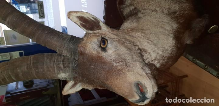 Antigüedades: Trofeo de caza cabra montesa - Foto 2 - 136436298