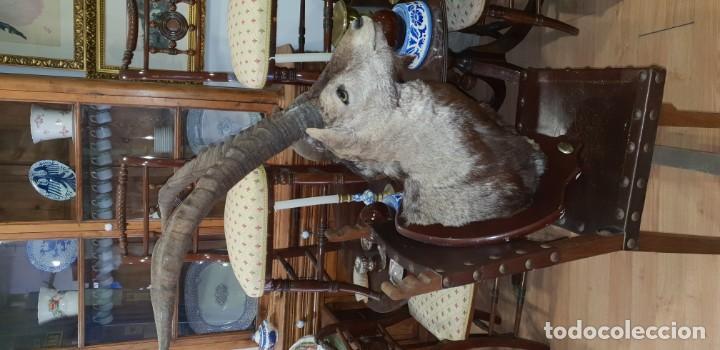 Antigüedades: Trofeo de caza cabra montesa - Foto 3 - 136436298