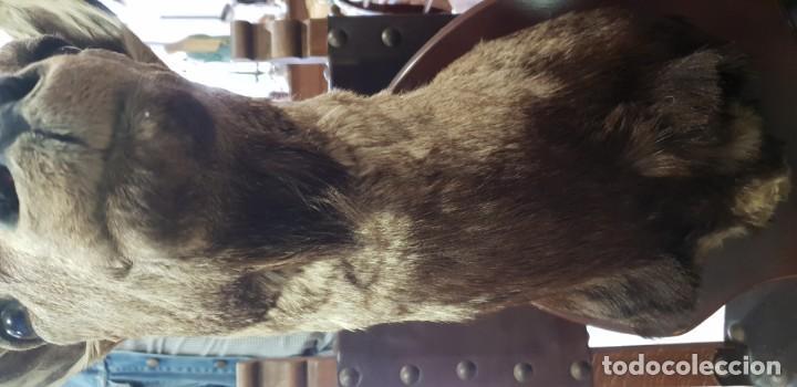 Antigüedades: Trofeo de caza cabra montesa - Foto 7 - 136436298