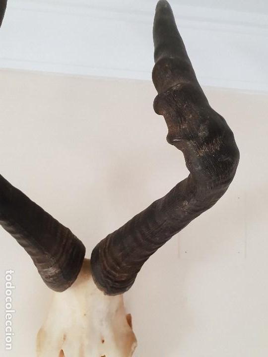 Antigüedades: Trofeo de antilope hartebeast rojo - Foto 3 - 139547242