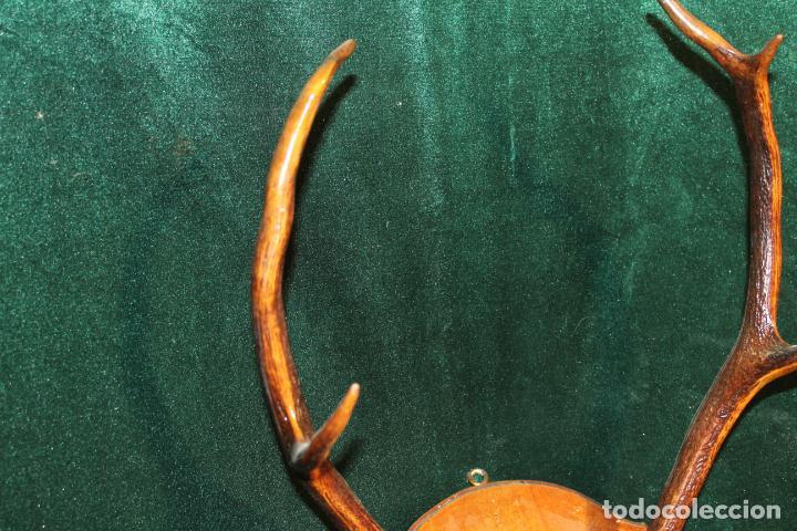 Antigüedades: TROFEO DE CAZA - Foto 4 - 142193186