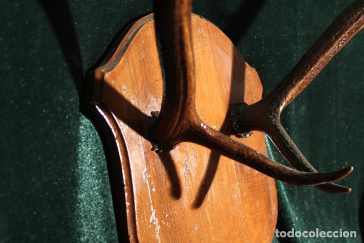 Antigüedades: TROFEO DE CAZA - Foto 6 - 142193186