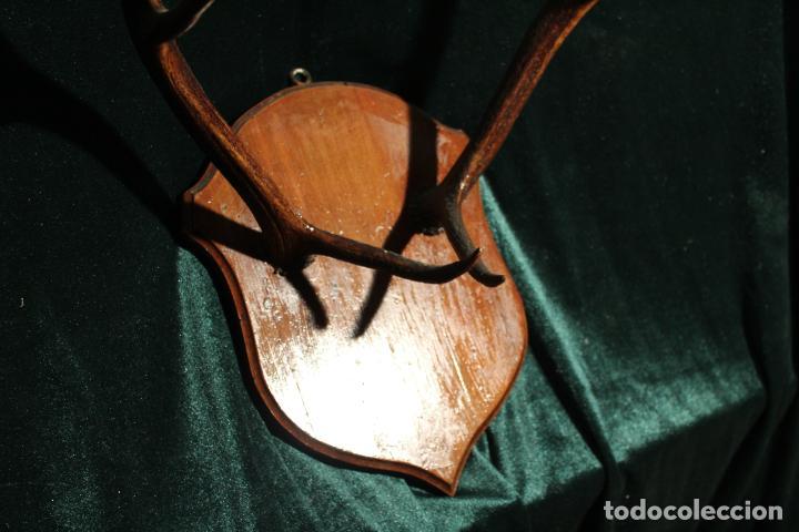 Antigüedades: TROFEO DE CAZA - Foto 10 - 142193186