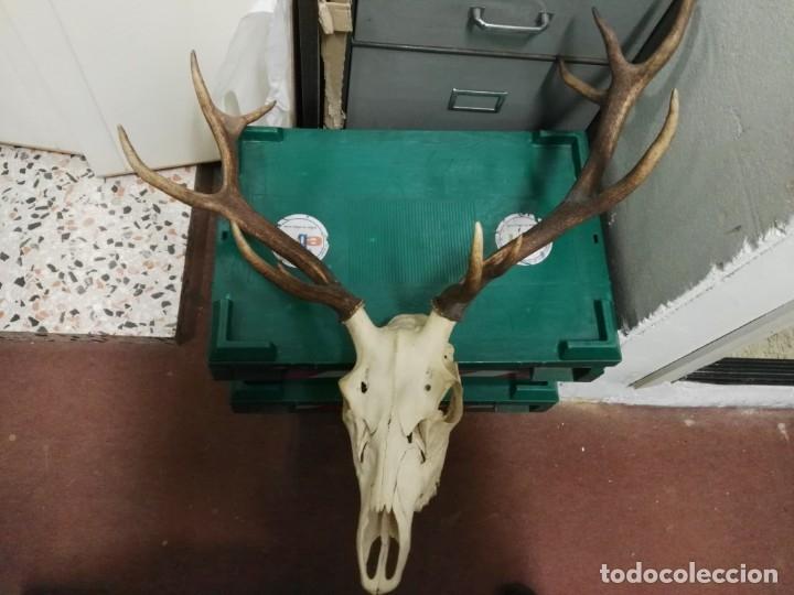 Antigüedades: Antigua cabeza de ciervo cornamenta venado de 12 puntas - Foto 5 - 147858602