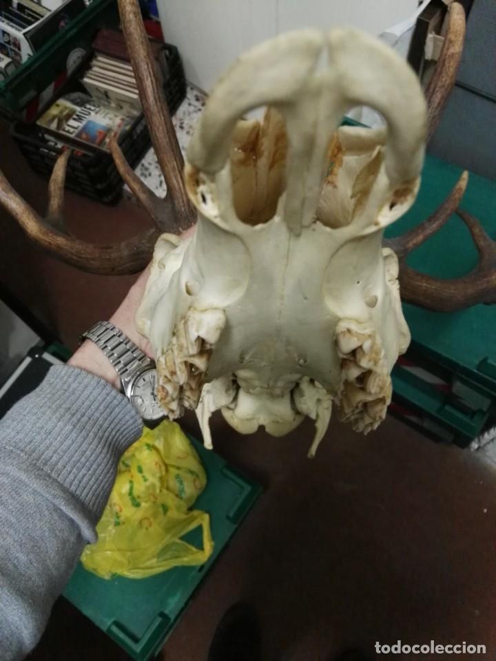 Antigüedades: Antigua cabeza de ciervo cornamenta venado de 12 puntas - Foto 10 - 147858602