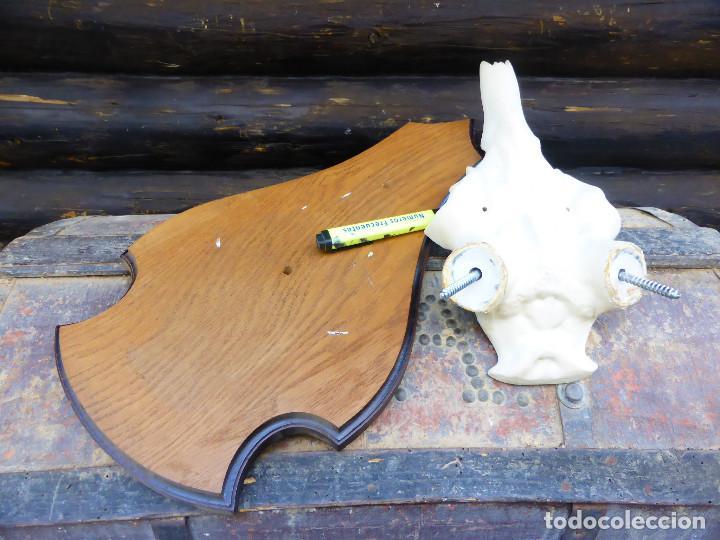 Antigüedades: Máscara para Taxidermia de Ciervo y tabla de roble - Foto 4 - 146424802