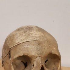 Antigüedades: CRANEO HUMANO. TIENDA DE LOS HORRORES. TIPO OBSCURA. BRUMART TU TIENDA. Lote 146877810