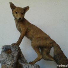 Antigüedades: ZORRO DISECADO TAXIDERMIA ANIMALES. Lote 147928154