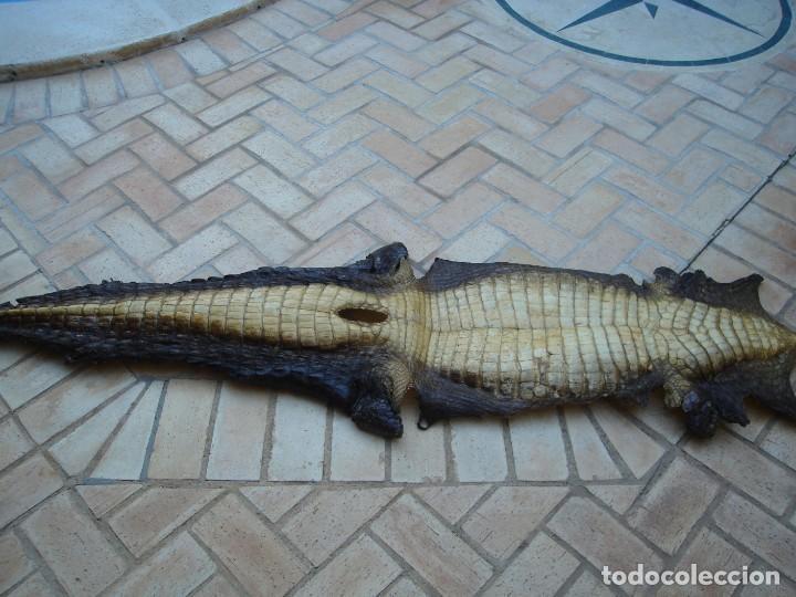 Antigüedades: Piel de cocodrilo procedente de África para decoración, con más de 100 años de antiguedad. - Foto 2 - 148237522
