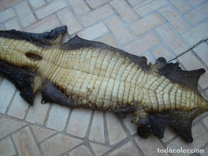 Antigüedades: Piel de cocodrilo procedente de África para decoración, con más de 100 años de antiguedad. - Foto 4 - 148237522