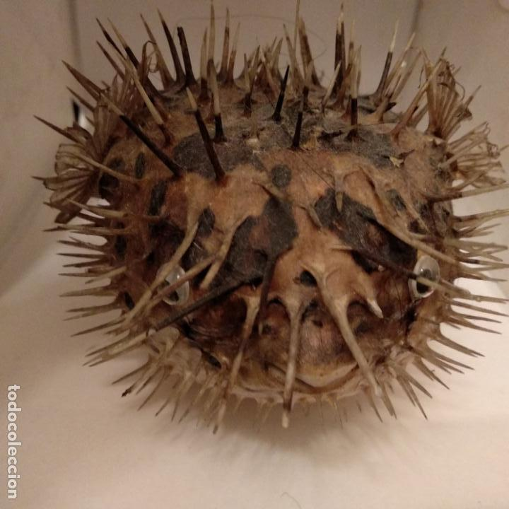 Antigüedades: Pez globo disecado taxidermia - Foto 2 - 151591238