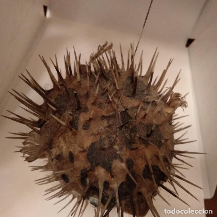 Antigüedades: Pez globo disecado taxidermia - Foto 3 - 151591238