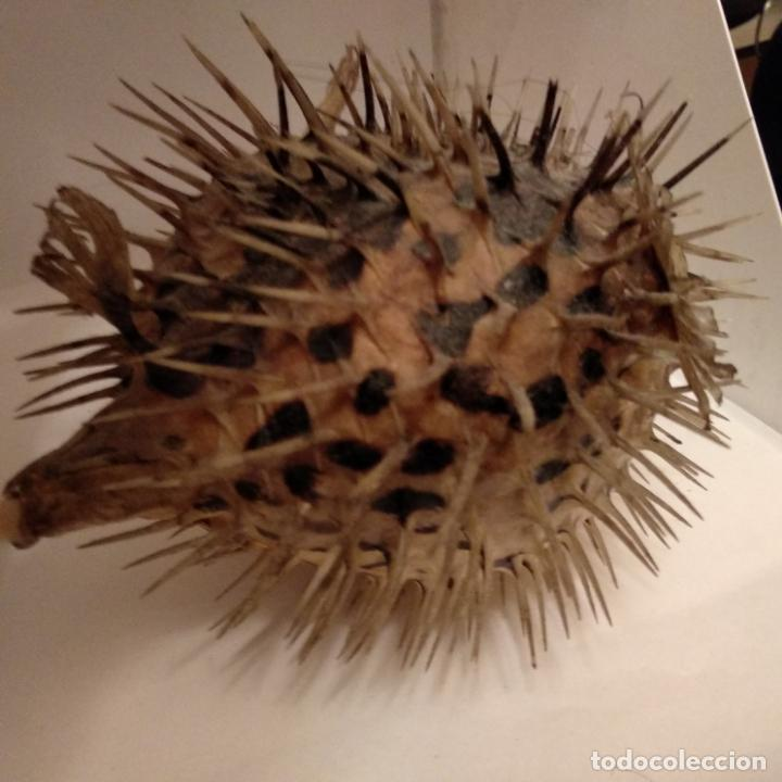 Antigüedades: Pez globo disecado taxidermia - Foto 4 - 151591238