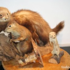 Antigüedades: MIXED TAXIDERMY LOT WEASEL, POLECAT AND SQUIRREL - VARIOUS SPECIES - 30×20×47 CM - 3 SEPERATES.. Lote 151757842
