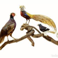 Antigüedades: 1960C GRAN COMPOSICIÓN TAXIDERMIA AVES - FAISANES Y PALOMAS - CON FACTURA - EXENTO CITES -. Lote 152144718
