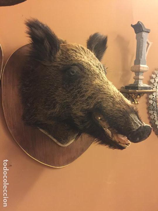 Antigüedades: Precioso trofeo años 60, cabeza de jabalí , buen tamaño, los colmillos miden aprox 5cms, Ver medidas - Foto 2 - 152530062