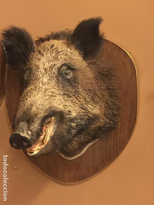 Antigüedades: Precioso trofeo años 60, cabeza de jabalí , buen tamaño, los colmillos miden aprox 5cms, Ver medidas - Foto 3 - 152530062
