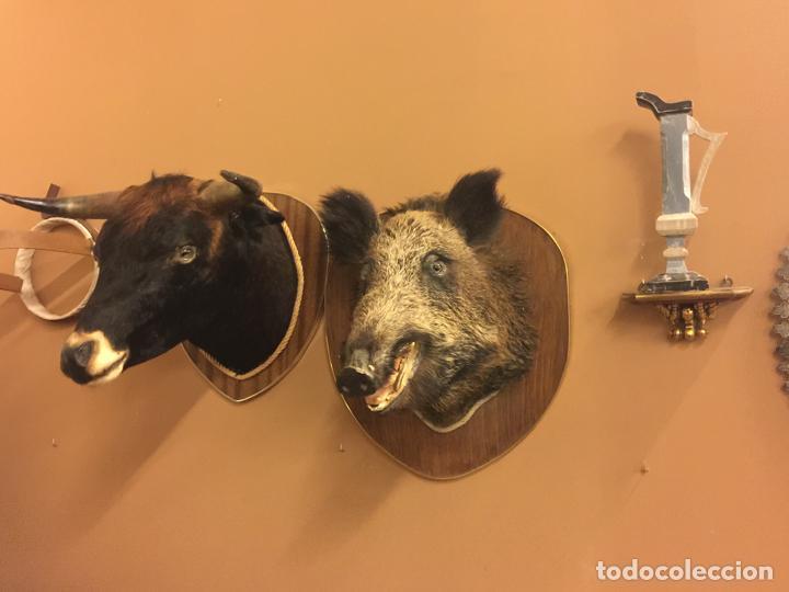 Antigüedades: Precioso trofeo años 60, cabeza de jabalí , buen tamaño, los colmillos miden aprox 5cms, Ver medidas - Foto 4 - 152530062