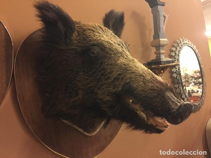 Antigüedades: Precioso trofeo años 60, cabeza de jabalí , buen tamaño, los colmillos miden aprox 5cms, Ver medidas - Foto 8 - 152530062