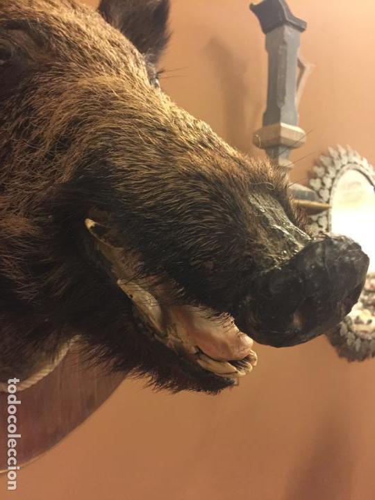 Antigüedades: Precioso trofeo años 60, cabeza de jabalí , buen tamaño, los colmillos miden aprox 5cms, Ver medidas - Foto 9 - 152530062