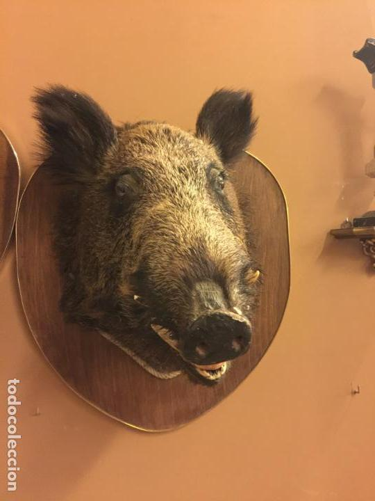 Antigüedades: Precioso trofeo años 60, cabeza de jabalí , buen tamaño, los colmillos miden aprox 5cms, Ver medidas - Foto 10 - 152530062